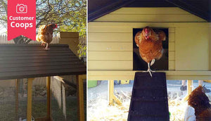 interior view of chicken coop with hens