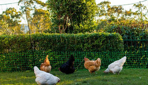 flock of hens foraging within poultry fencing