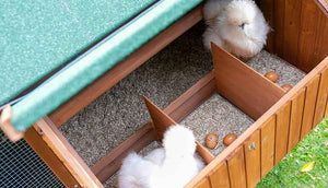 two silkie hens inside mansion chicken coop nesting box with their eggs