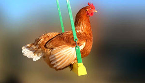 red chicken swinging on hen swing