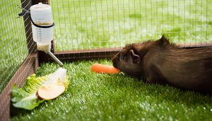 guinea pig eating carrot inside piggy parlour