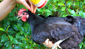 woman rubbing pestene powder into chicken's feathers