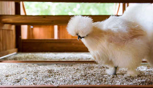 silkie hen inside mansion chicken coop with hemp bedding