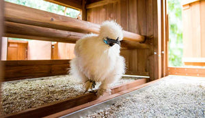 white silkie hen inside mansion coop