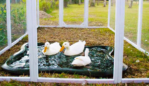 mansion chicken run painted white with ducks inside
