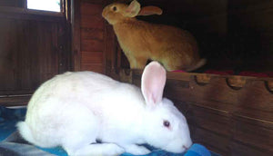 brown and white rabbits inside wiggle den hutch