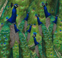 Load image into Gallery viewer, Neck gaiter - Peacocks - Peacock Neck warmer - Peacock Face Shield