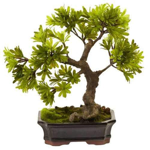 Podocarpus w/Mossed Bonsai Planter Silk Tree
