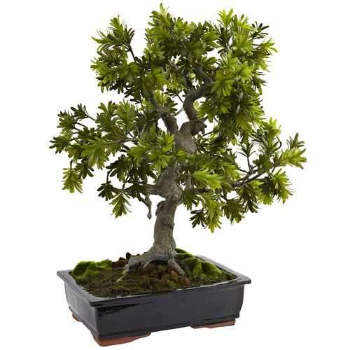 Giant Podocarpus w/Mossed Bonsai Planter Silk Tree