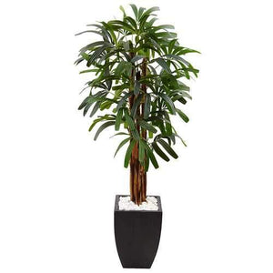 5.5 Raphis Plam Tree in Black Planter Silk