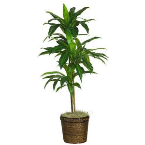 48 Dracaena w/Basket Silk Plant (Real Touch)""