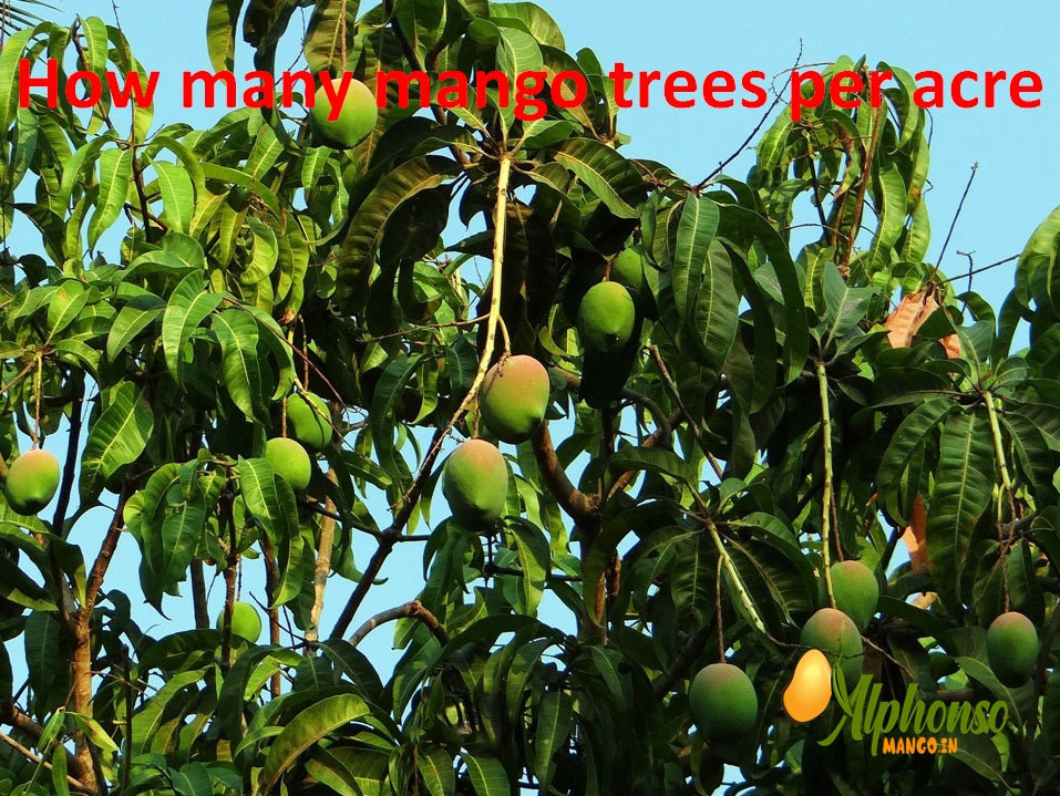 How many mango trees per acre