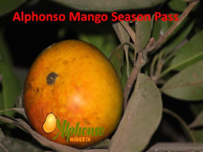 Alphonso Mango Season Pass, get delivery weekly to your home
