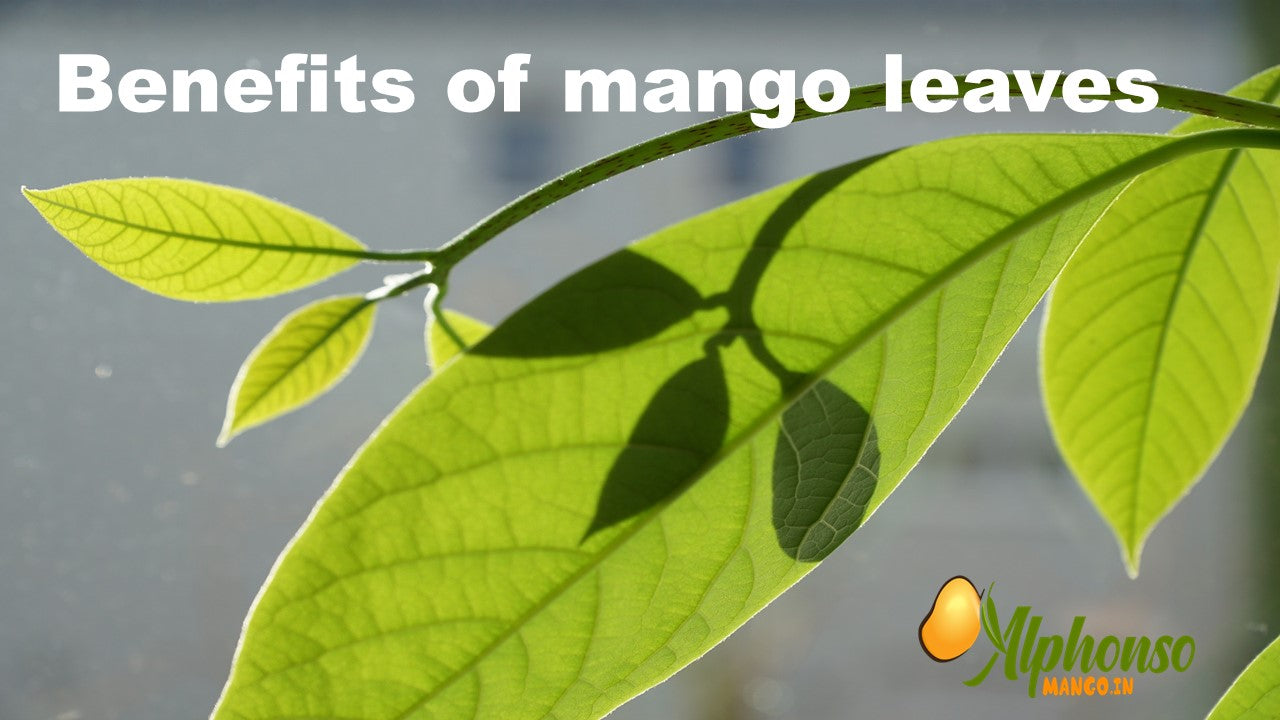 benefits of mango leaves