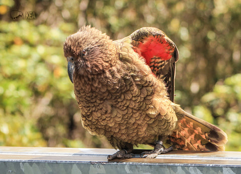 LGI208 - Kea, Mountain Parrot - Large Postcard - Postcards NZ Ltd
