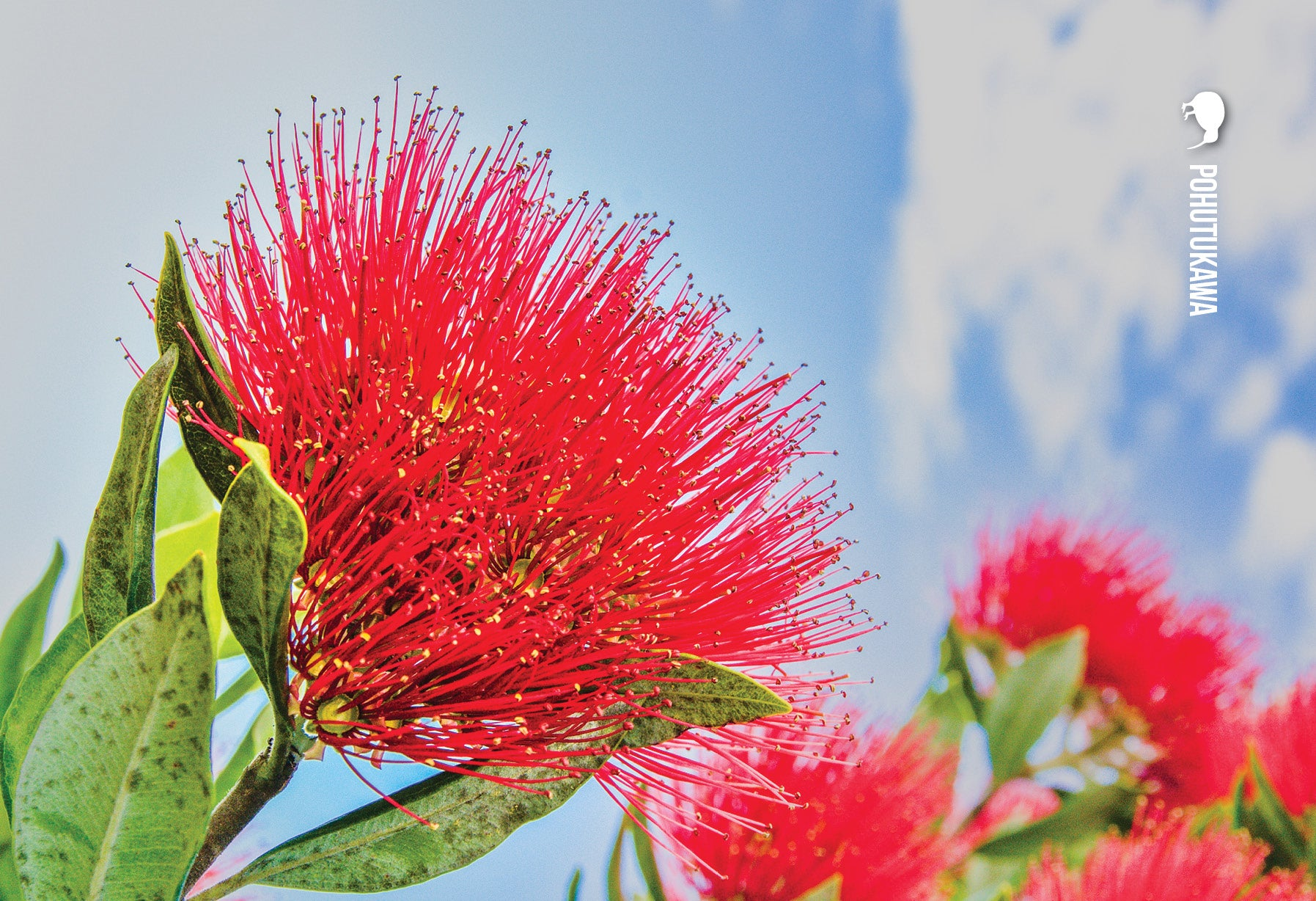 SGI1105 - Pohutukawa - Small Postcard - Postcards NZ Ltd