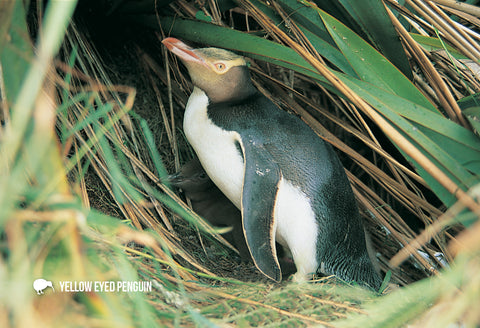 SGI494 - Yellow Eyed Penguin and Chick - Small Postcard