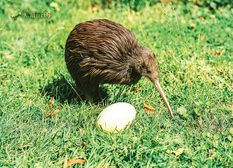 LGI069 - Kiwi And Egg - Postcards NZ Ltd