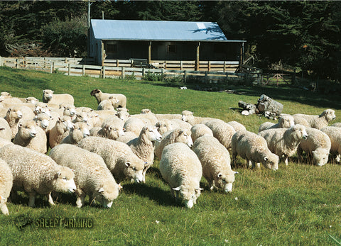 LGI071 - Sheep - Large Postcard - Postcards NZ Ltd