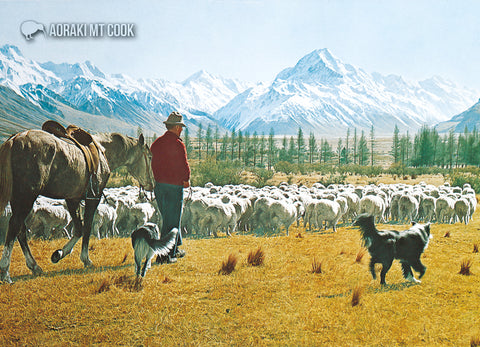 LMC095 - Mustering Sheep, Mt.Cook - Large Postcard - Postcards NZ Ltd