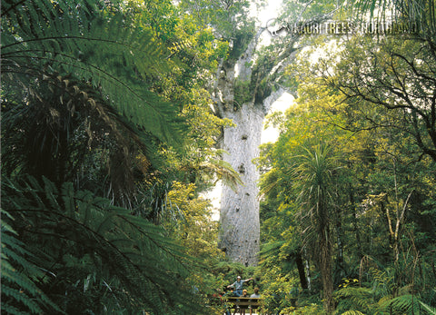 LNO110 - `Tane Mahuta' Kauri Tree - Large Postcard - Postcards NZ Ltd