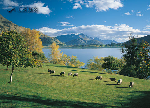 LQT134 - Sheep Grazing Beside Lake Hayes - Large Postcard - Postcards NZ Ltd