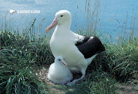SDN1102 - Albatross and Chick - Small Postcard - Postcards NZ Ltd