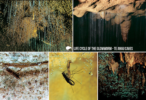 SFI60 - Life Cycle Glow-Worm - Small Postcard - Postcards NZ Ltd
