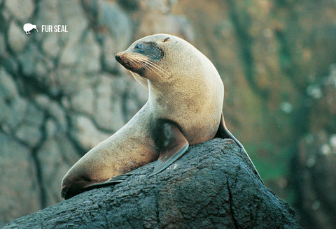 SGI511 - Nz Fur Seal - Small Postcard - Postcards NZ Ltd