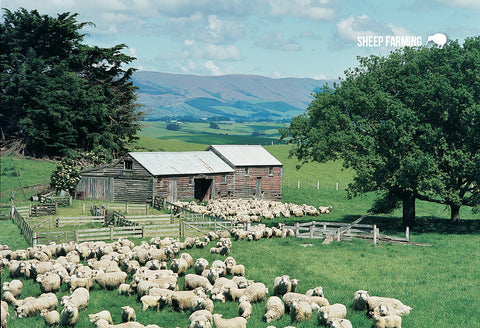 SGI512 - Sheep Scene - Small Postcard - Postcards NZ Ltd