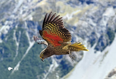 SGI514 - Kea, Mountain Parrot - Small Postcard - Postcards NZ Ltd