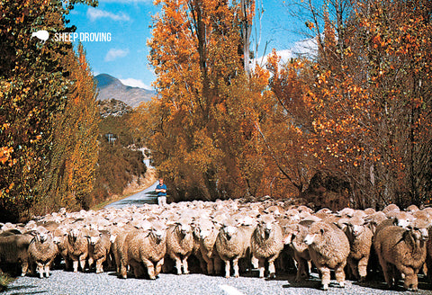 SOT391 - Wanaka Sheep Droving - Small Postcard - Postcards NZ Ltd