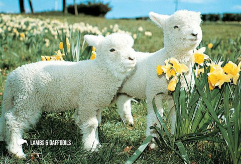 LGI070 - Lambs & Daffodils - Large Postcard - Postcards NZ Ltd