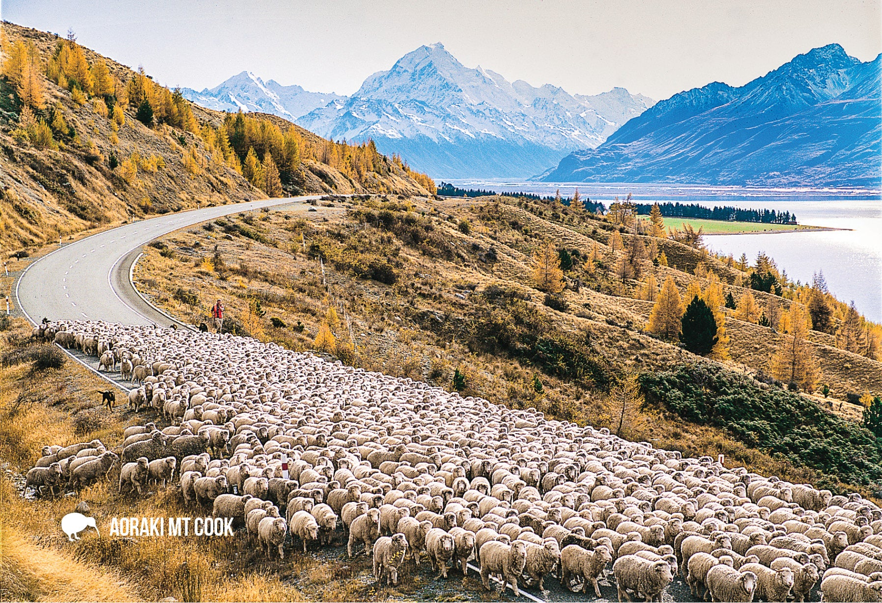 SMC347 - Mustering Sheep, Mt Cook - Small Postcard - Postcards NZ Ltd