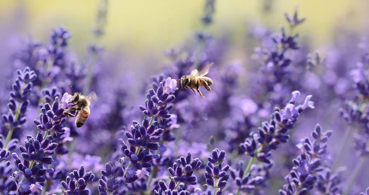 files/bees-on-purple-flower-164470_e0cdfc81-4063-4170-80ed-891dd715bc0c.jpg