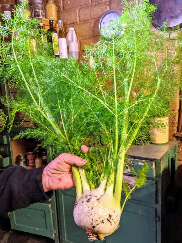 Fennel - Florence Fennel