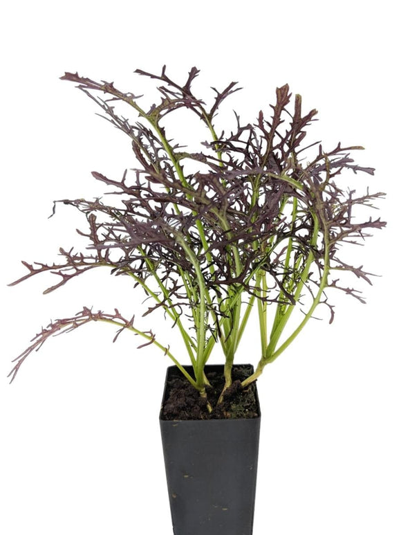 Asian Greens - Mizuna Purple