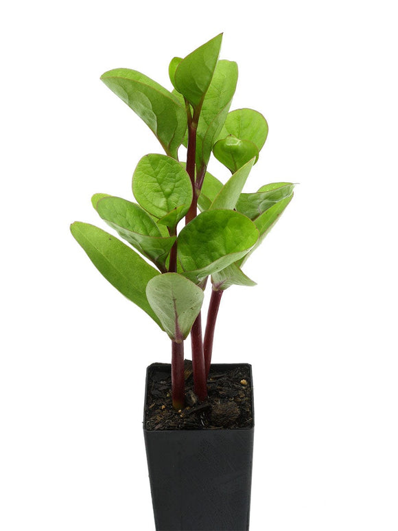 Ceylon Spinach - Red Stem