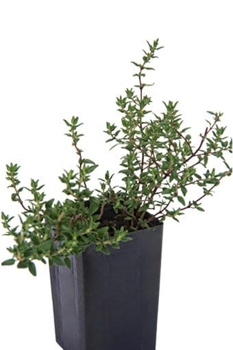 Thyme - Common Thyme
