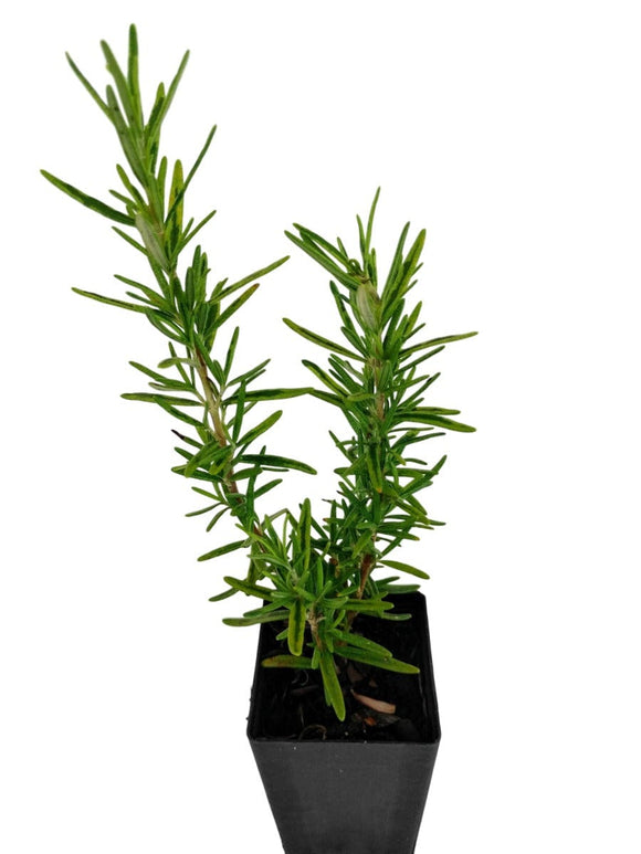Rosemary - Golden Rain Rosemary