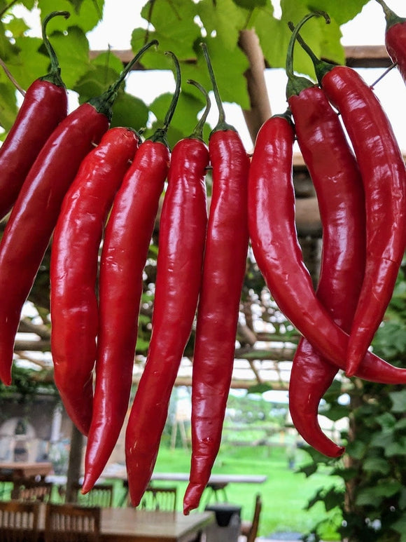 Chilli Long Red