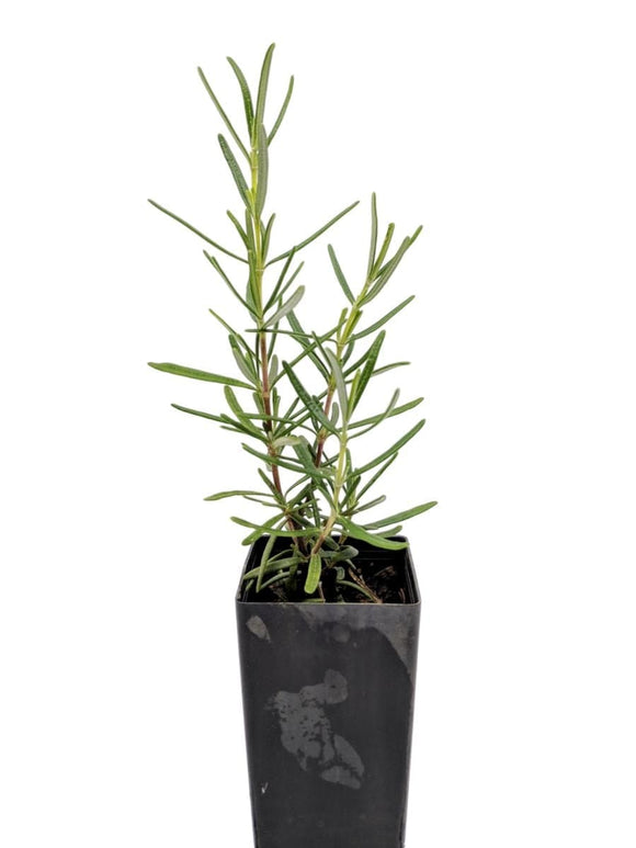 Rosemary - Portuguese Pink Rosemary