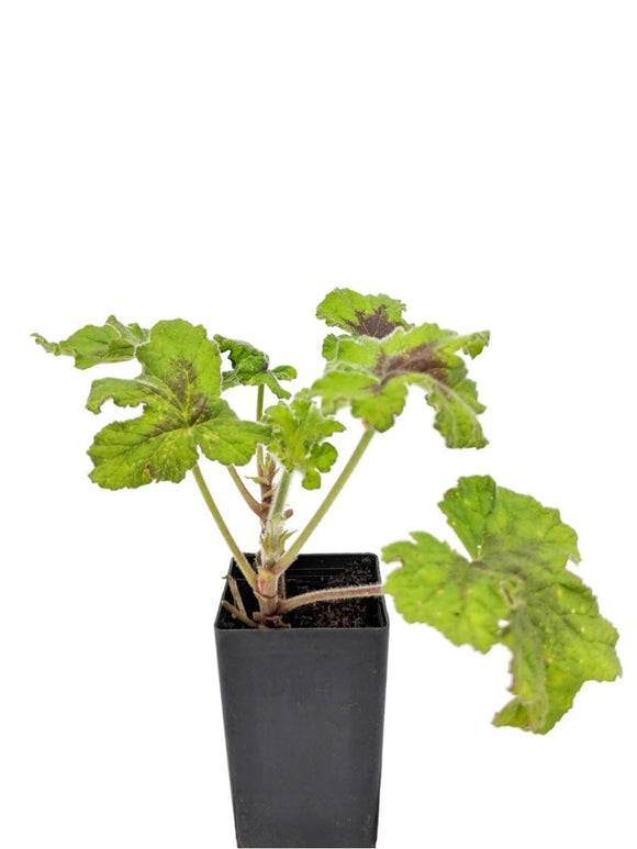 Scented Geranium Chocolate Peppermint
