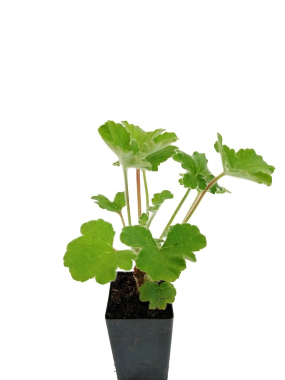 Scented Geranium Peppermint