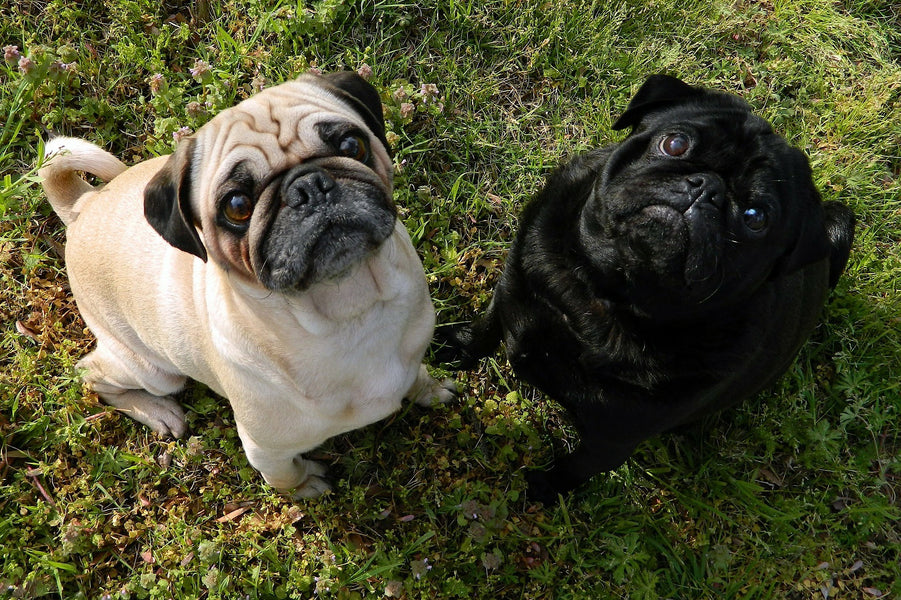 Pug.com To Start Selling Pet Products