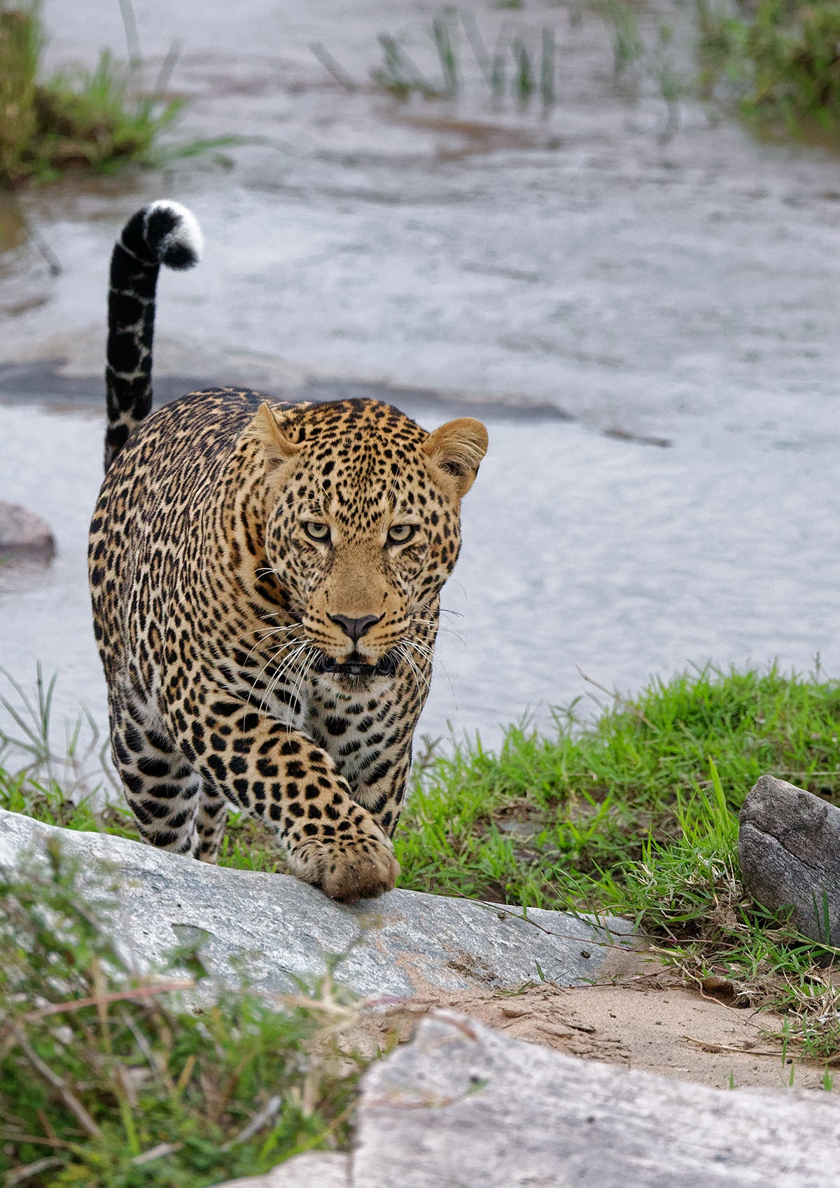 Leopard Stares And Walks Towards Us