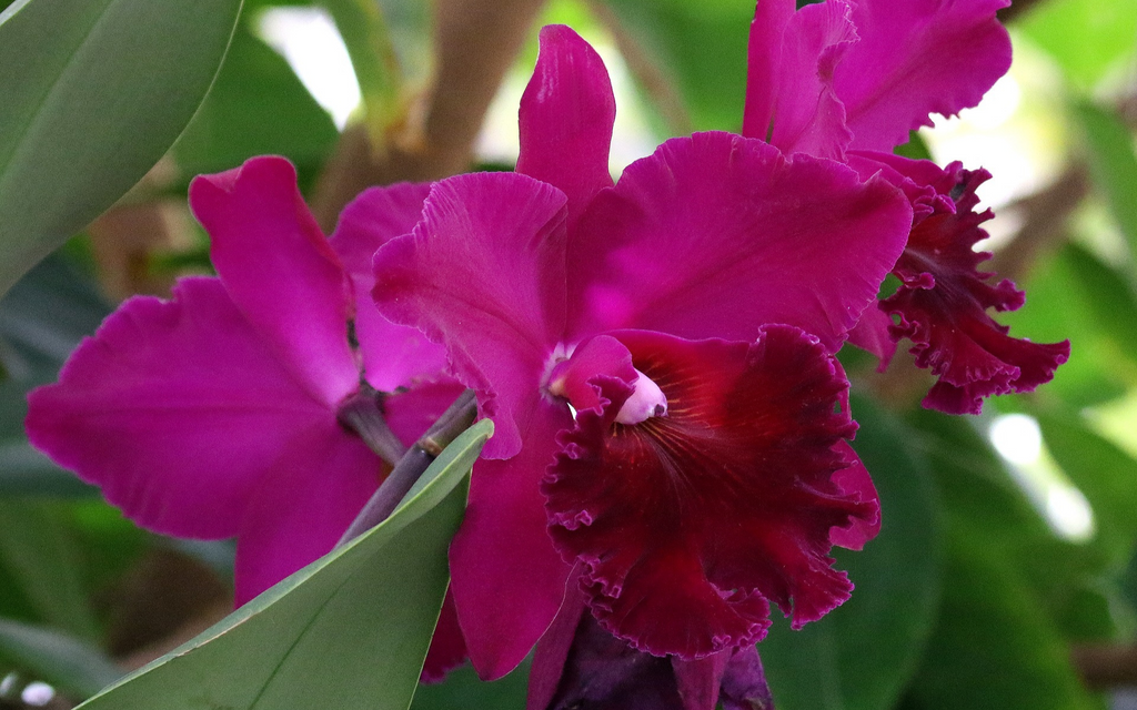 Cattleya Labiata helps reduce the appearance of lines and wrinkles, hyperpigmentation, age spots etc.