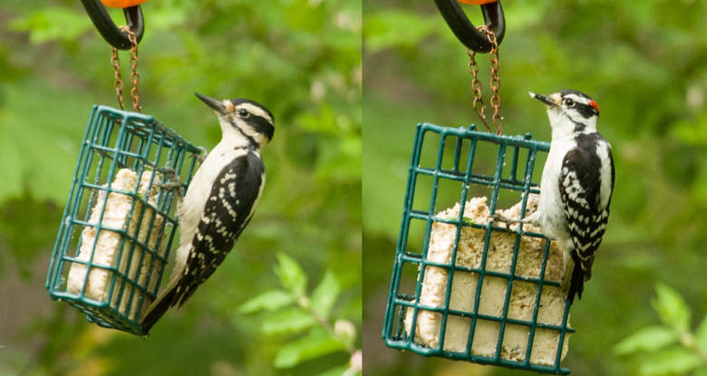 Backyard Birds 101; Hairy vs Downy Woodpecker