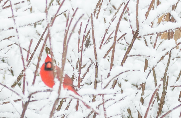 Backyard Birds 101; The Northern Cardinal