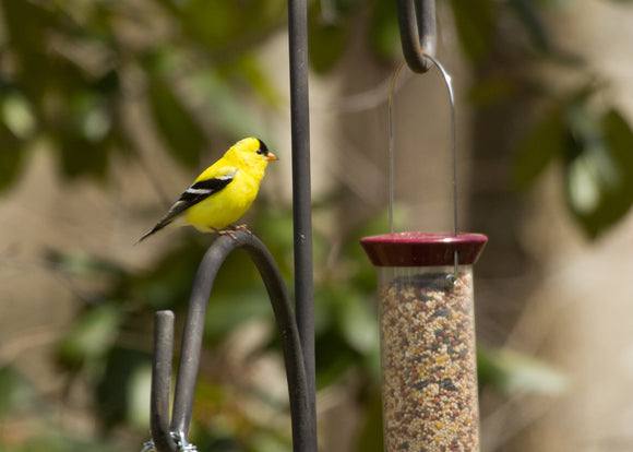 Backyard Birds 101; American Goldfinch